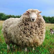 Merino sheep, used by Zegna, on the Australian grasslands